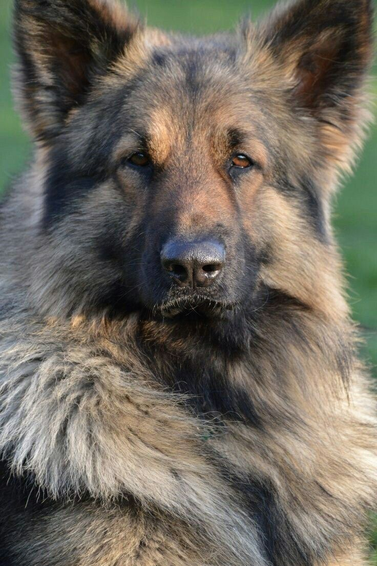 Pin By Alison Arwood On Gsd Guard Dog Breeds