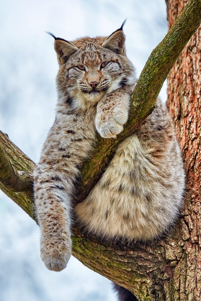 Lynx in a tree photographed by René Unger, Wildpark Schloss Tambach, Germany [1362x1031]