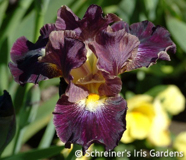 Blackcurrant | Iris A-C