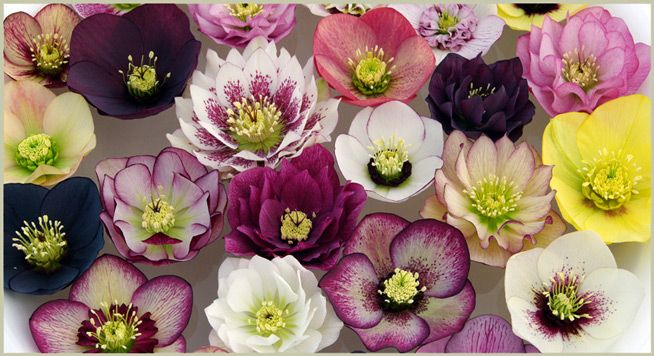Post Office Farm Nursery Hellebore Nursery in Macedon Ranges, Victoria. Hellebores, or 'Winter Roses', are a winter flowering perennial, suitable for temperate regions of Australia.
