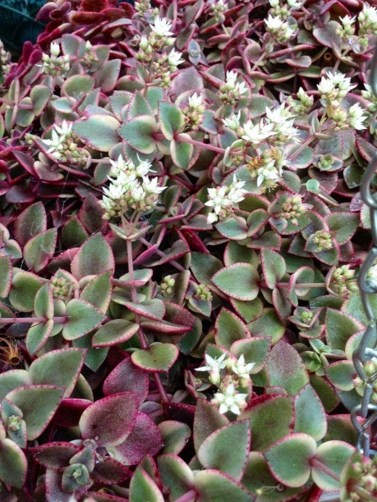Crassula pellucida subsp. marginalis 'Variegata ...