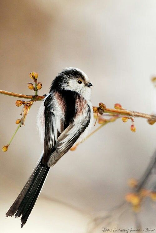 Long-tailed Tit (aegithalos caudatus). Small flocks pass through Scottish gardens on a daily basis. Called the mob, because they charge in and make such a noise, noisier than other birds for being so small. Often Blue and Great Tits are tagging along.