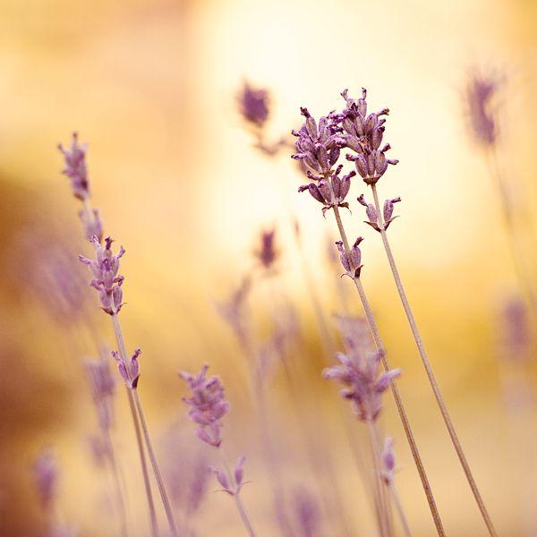 evenings of lavender. by miezeTatze.deviantart.com on @deviantART
