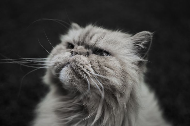 Tiny Lion - Our Persian cat, Gizmo.