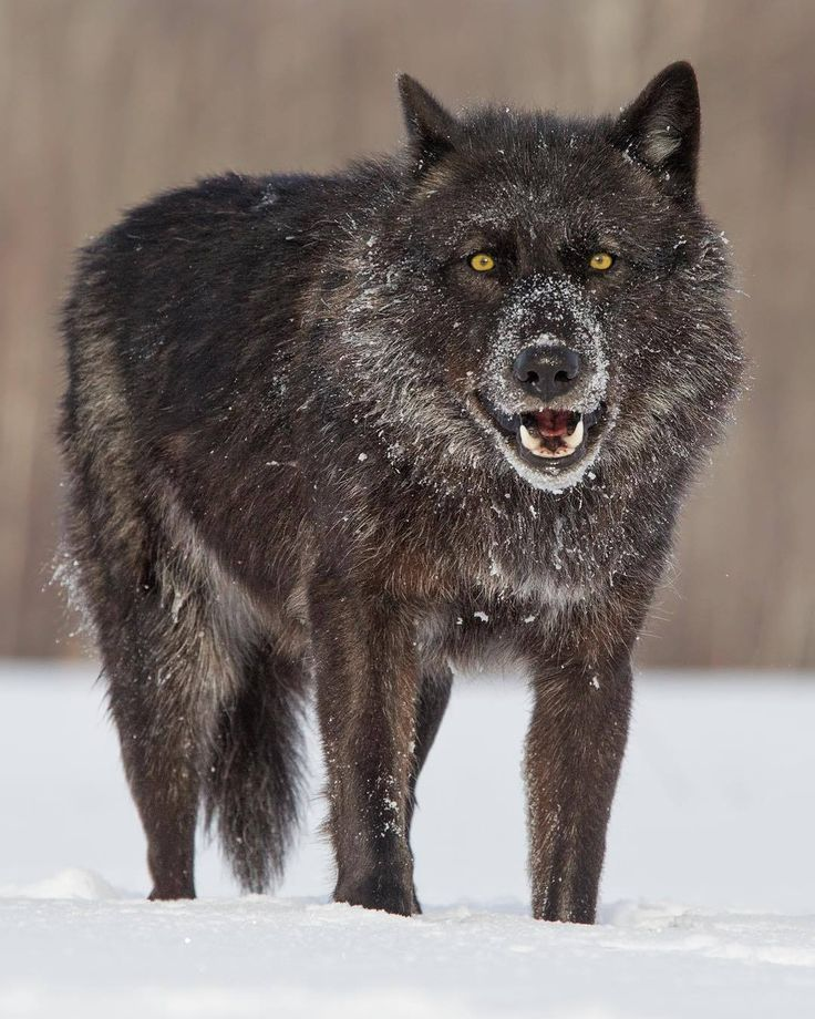 Black Timber Wolf by © cjm_photography