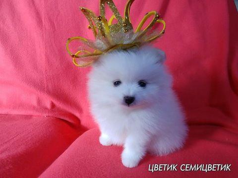 Best 25 White Pomeranian Ideas On Pinterest White