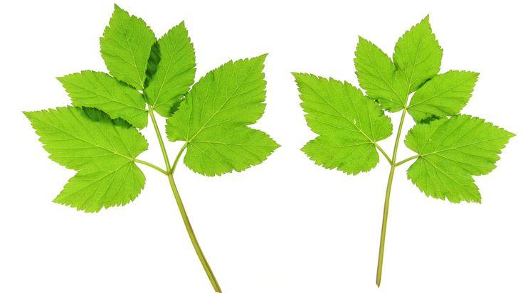 Tuinmansverdriet – zo luidt een van de bijnamen van zevenblad. Niet voor niets: heeft zevenblad zich eenmaal in de tuin genesteld, dan weet hij menig tuinliefhebber op z'n minst flink te frustreren.