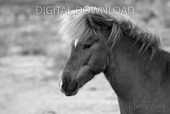 Icelandic Horse Portrait. Black&White Photo  Digital Download