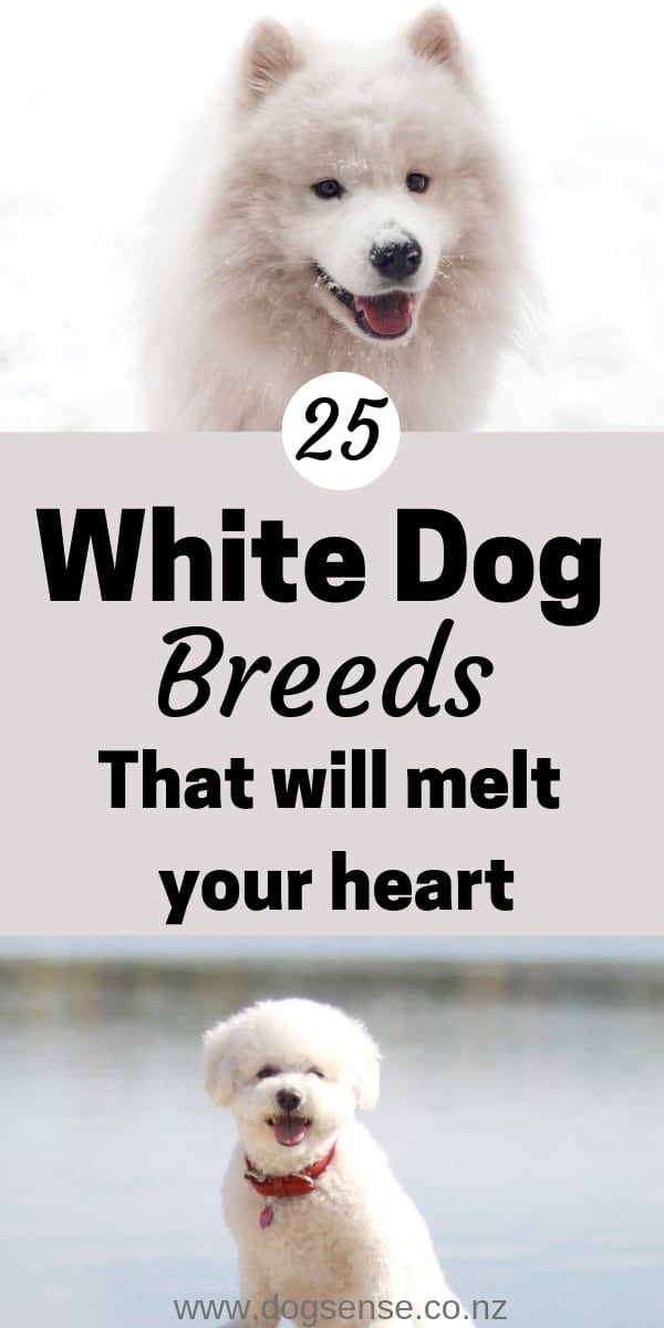 25 White Dog Breeds That Will Melt Your Heart White Dog Breeds Dog Breeds White Dogs