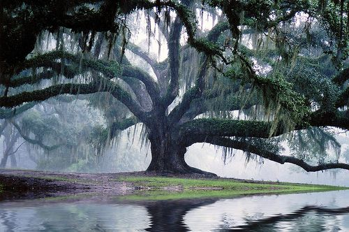 spanish moss draped oak ~ dreams drifted in fog! exquisite photo! kudos to the photographer! shrouded beautiful mysteries all reflected exquisitely!!
