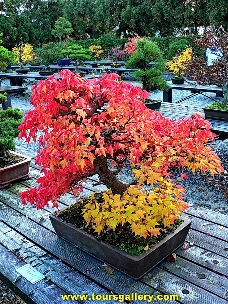 Autumn leaves on Japanese Bonsai . www.toursgallery.com