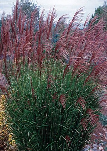 Maiden grass 39 gracillimus 39 great winter interest with red for Ornamental grasses with plumes
