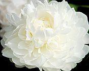 white peonies, MOTHERS CHOICE Peony, white peonies for sale, Peony Farm, WA