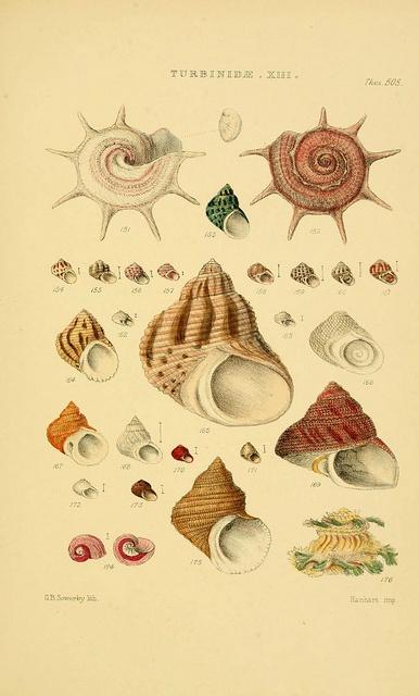 Thesaurus conchyliorum, Sowerby 1847-1887 #nature #shells #scientific #illustration