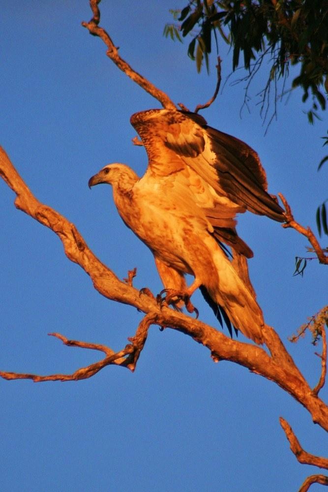 Meeting with marrawuddi (white-bellied sea eagle) in Kakadu National Park