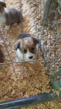 Pembroke Welsh Corgi puppy for sale in BLOOMINGTON, CA. ADN-31426 on PuppyFinder.com Gender: Female. Age: 7 Weeks Old