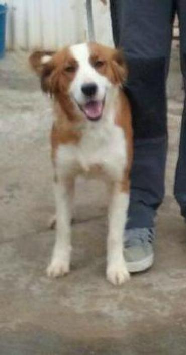 Hund, Australian Shepherd (Mischling, Hündin, 1 Jahr) Spanien