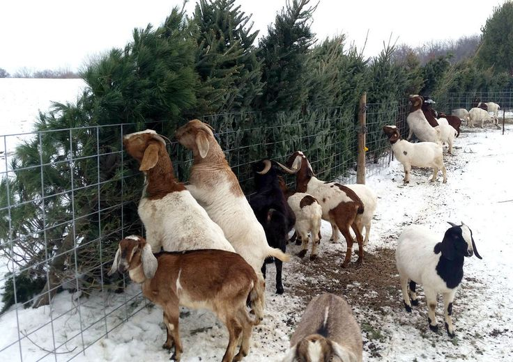 Hungry goats want your old Christmas tree | Community ...