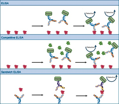 The ELISA procedure is a procedure used to perform an enzyme-linked
