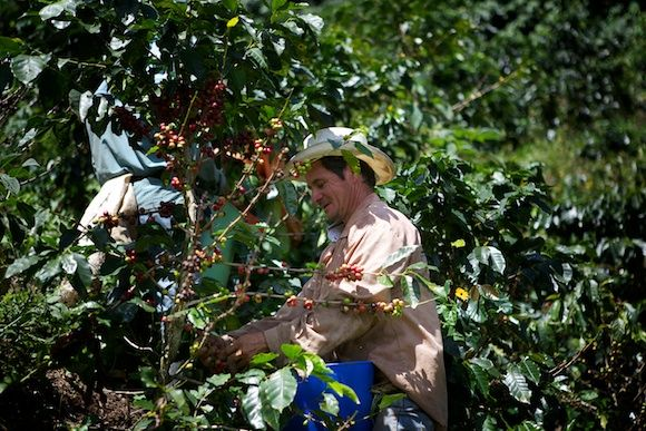 Picking the best coffee in the world. Pure Arabica from Colombia.