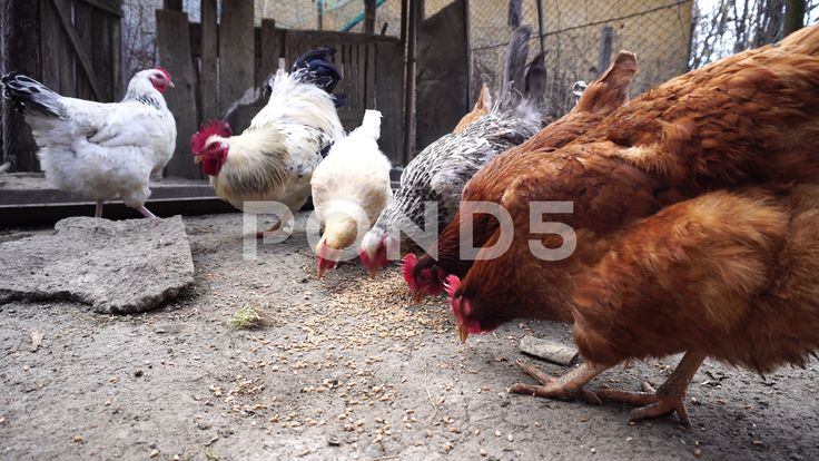 Hen Eating - Stock Footage | by botiordog