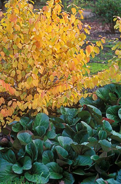 Cornus sanguinea Midwinter Fire, Bergenia Bressingham Ruby, November