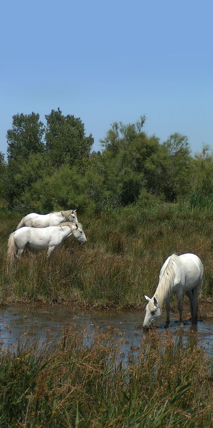 Les chevaux en Camargue - wild horses living in marshes and wetlands of the Rhone delta in southern France.