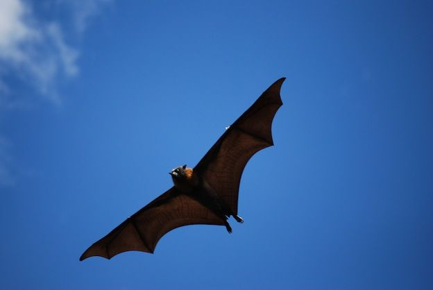 giant golden-crowned flying fox information