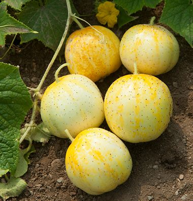 Cucumber Lemon is a sweet and flavorful small, rounded, pale yellow cucumber good for pickling or served raw.