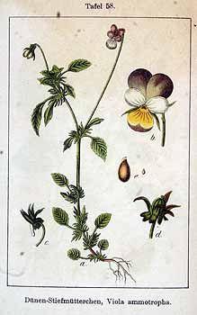 149958 Viola ammotropha E.H.L.Krause / Sturm, J., Krause, E.H.L., Lutz, K.G., Flora von Deutschland in Abbildungen nach der Natur, Zweite auflage, vol. 6: t. 58 (1902)