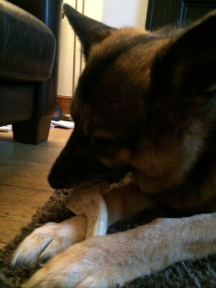 Zena with her birthday present - antler dog chews :-)