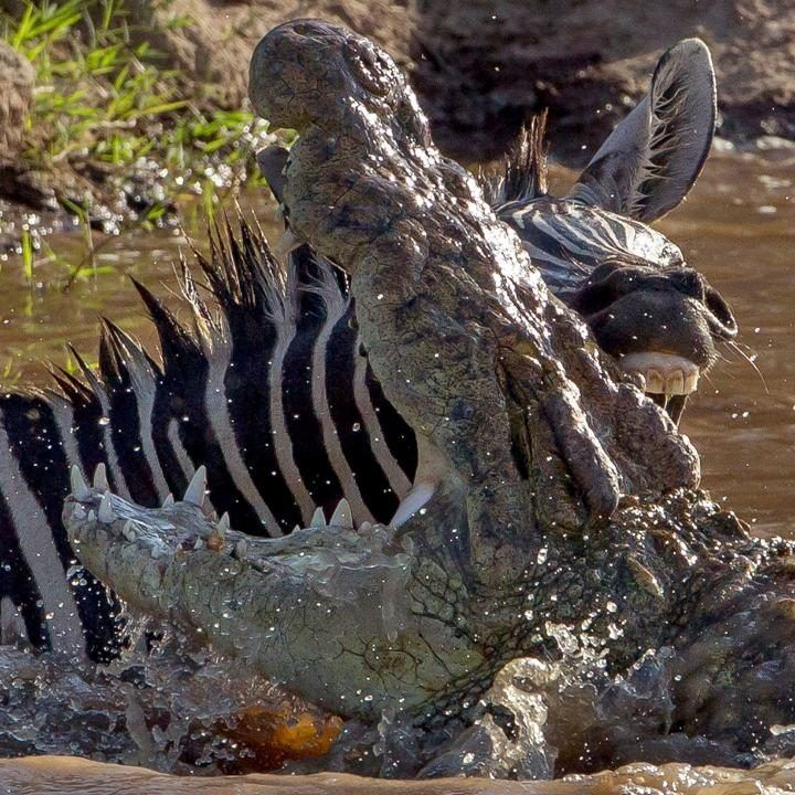The moment a feisty zebra bit back at a hungry crocodile while it crossed the Mara River in the Maasai Mara National Reserve in Kenya…CREDIT: NELIS WOLMARANS / CATERS NEWS