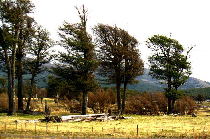 Arboles de la Patagonia, Chile