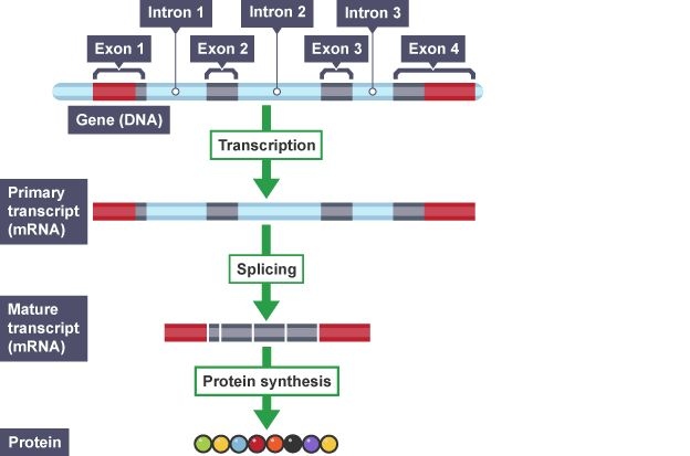 RNA splicing diagram