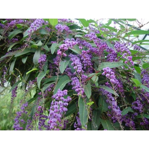 Hardenbergia violacea Happy Wanderer - This is a native. Very hardy Flowers winter through spring, good climber. Stays bushy at bottom while growing