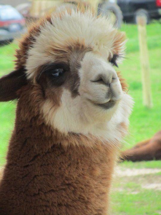 Super Cute Alpaca I saw at Ms. B-Havens Alpaca Farm! ♥