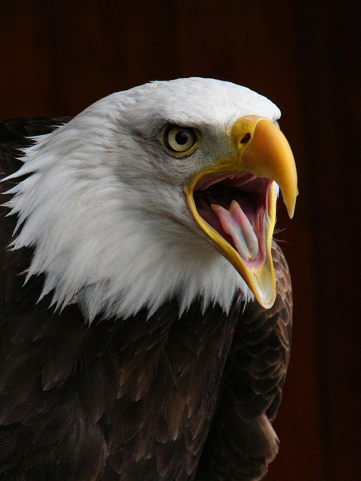 The Magnificent Bald Eagle at Banham Zoo