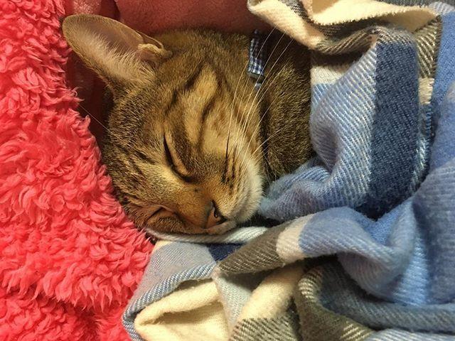 #🐈 通信制限からの解放ーー!! 休憩室でスムーズに見れる幸せ! . . . #猫#ネコ#ねこ#cat#天使#親バカ#元捨て猫#キジトラ#写真#picture#photo#愛猫#にゃんすたぐらむ#寝顔