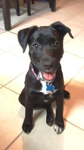 11/17/16-HOUSTON-Bear is low-key and enjoys a good belly rub but can be full of energy and ready to play at times. Her tail is ALWAYS wagging and is always ready to play with people and other dogs. She loves attention and is always up for a good time. She is still being crate trained, leash trained, and potty trained but has been quick learner. Seems as though she has forgotten about her rough start in life and is full steam ahead towards the future! STILL THERE!
