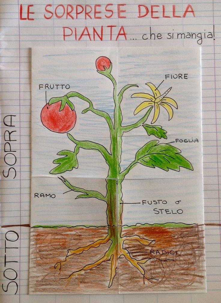 Percorso didattico sulla pianta. Lapbook scienze, classe seconda.