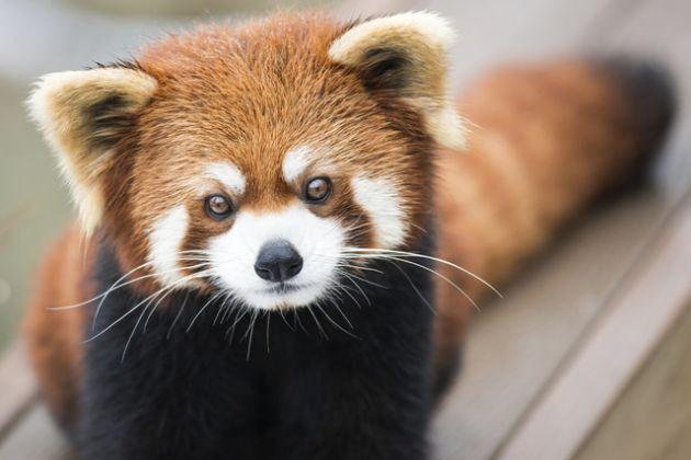 Puede que muchos no lo sepan pero el nombre Firefox no hace referencia a un zorro (como se esperaría de la traducción) sino a un panda rojo // El panda rojo, ese gran desconocido en el logo de Firefox   El Blog de Sinfallas
