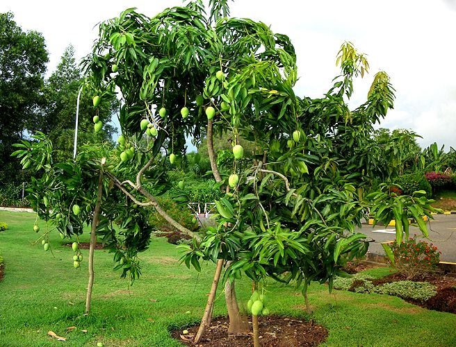 Alphonso mango in the tree