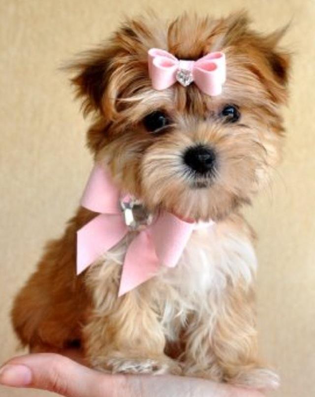 Teacup Morkie!!! Full grown ) Must Love Dogs Pinterest
