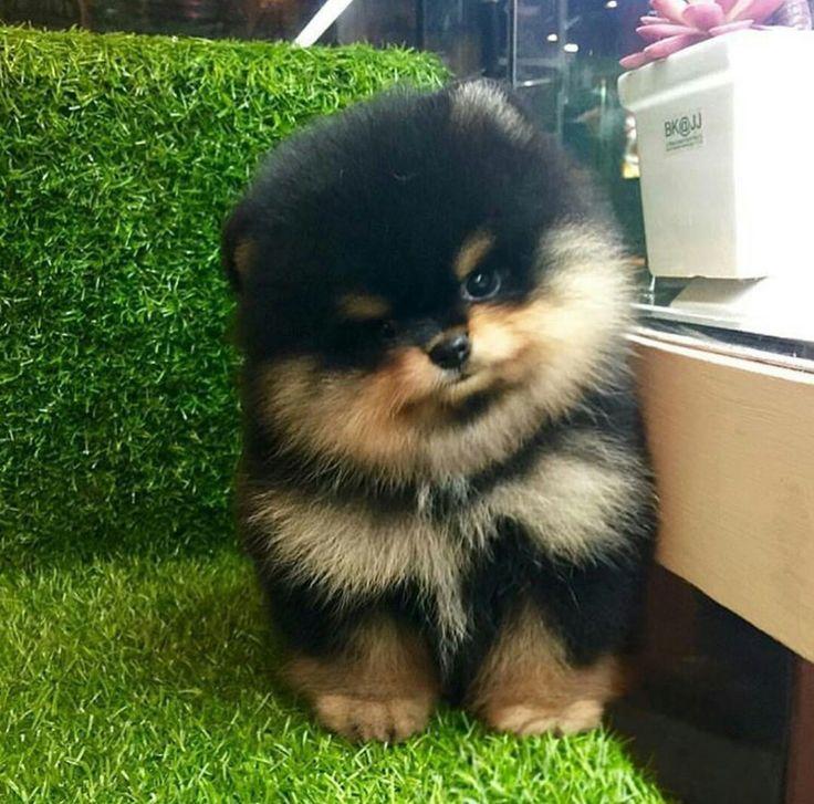 He looks like Hank my Pomeranian
