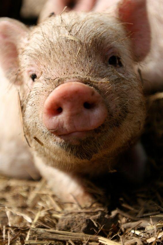 443 besten schweinchen bilder auf pinterest schweinchen ferkel und kleine schweine. Black Bedroom Furniture Sets. Home Design Ideas
