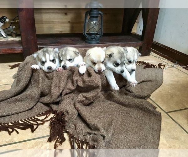 Siberian Husky Dog Breeder Subs 145535 In Palestine West Virginia