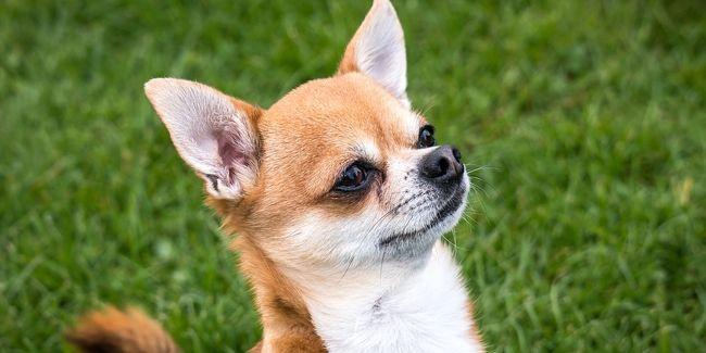 Le Chihuahua Ou Chiwawa Plus Petit Chien Du Monde Les Chiens C Est Magique Le Chihuahua Tout Sur Le Chihuahua Le Chiwawa Bebe In 2020 Dog Breeds Dogs Chihuahua Dogs