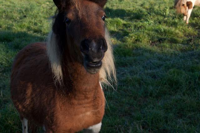 #mini #pony #farm #funny #face