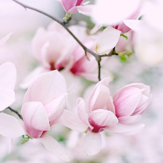 Beautiful pink magnolias.  Photo taken by Elena ~ pretty light.