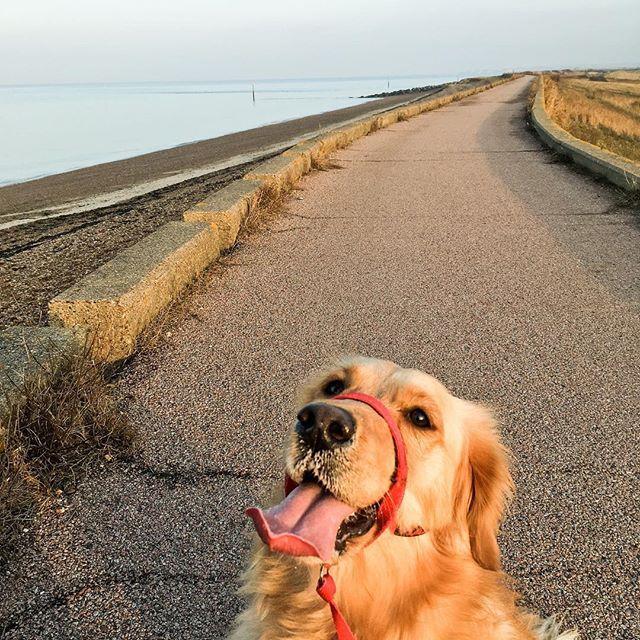 Guide Dogs Uk On Instagram Buster Golden Retriever Guide